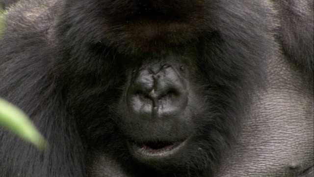 Flies buzz around the head of a silverback. Available in HD.