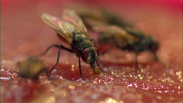 Flies feed on rotting meat.