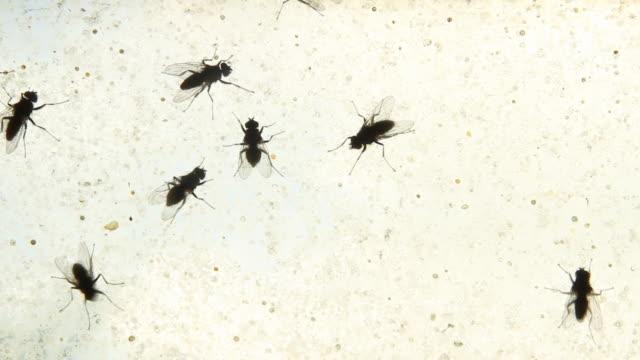 Fliegen (Insekten) gehen auf schmutzig Fenster-Endlos wiederholbar, HD, NTSC
