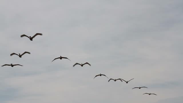 Flight of Pelican's