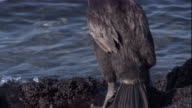 A Flightless Cormorant hops over rocks and dives into the water. Available in HD.