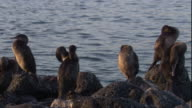 Flightless cormorants perch on a rocky coast. Available in HD.