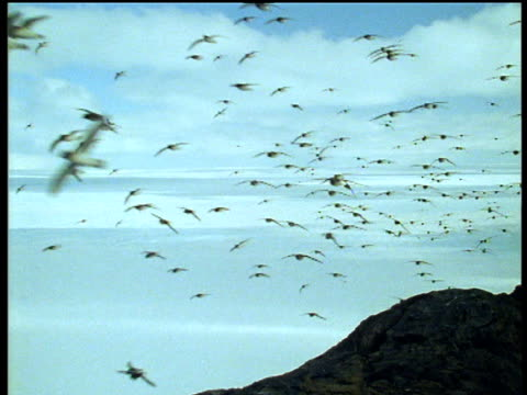 Flock of antarctic petrels flies past