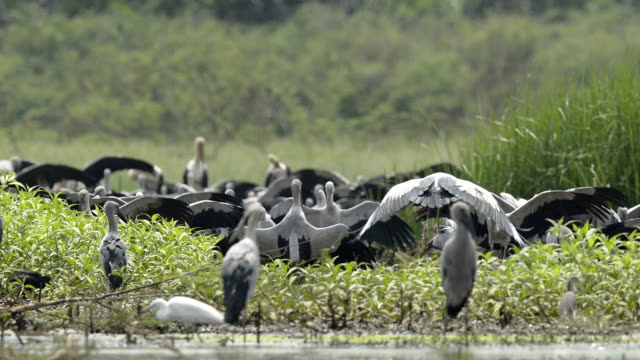 A flock of Asian Openbill