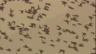A flock of Baikal teals flies across a golden sky. Available in HD.