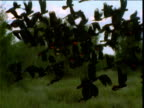 Flock of black cockatoos takes off, Northern Territory, Australia