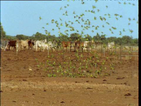 Flock of budgies drinks nervously from puddle in outback, Northern Territory, Australia