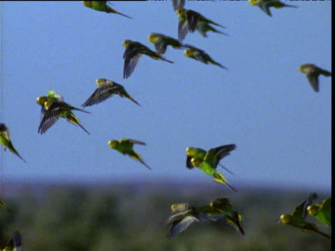 Flock of budgies flies in blue sky over outback, Northern Territory, Australia