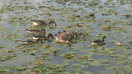 Flock of canada geese  1080/60i