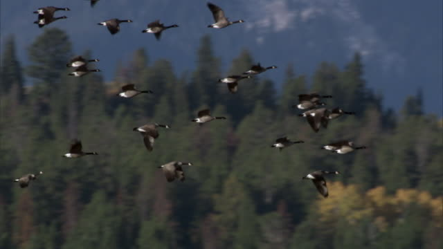 Flock of Canada geese (Branta canadensis) flies over forest, Yellowstone, USA