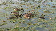 Flock of canada geese - HD 1080/60i
