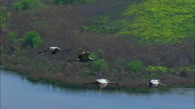 AERIAL Flock of Common Cranes (Grus grus) flying above lake in Hula valley /Upper Galilee, Israel