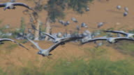 SLO MO MS flock of Demoiselle cranes flying towards camera and left in evening light with other cranes in background on the ground into MS individual birds in flight and calling