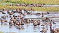 SLO MO Flock of duck at waterhole