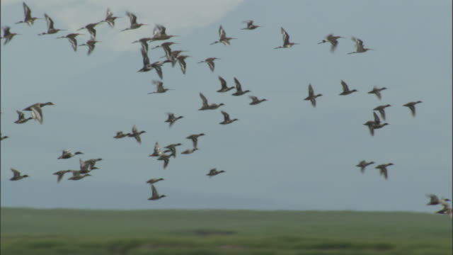 Flock of ducks and black tailed godwits fly over lake, Bayanbulak grasslands.