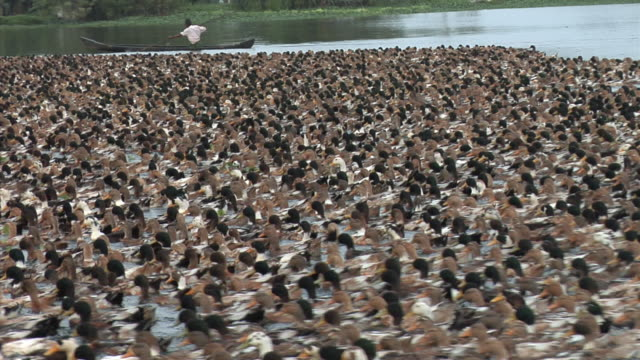 CU, ZO, MS, Flock of ducks on backwaters of Kerala, India