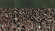 MS, Flock of ducks on backwaters of Kerala, India
