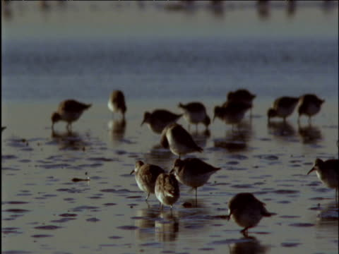 Flock of dunlin forage and preen on mud flats