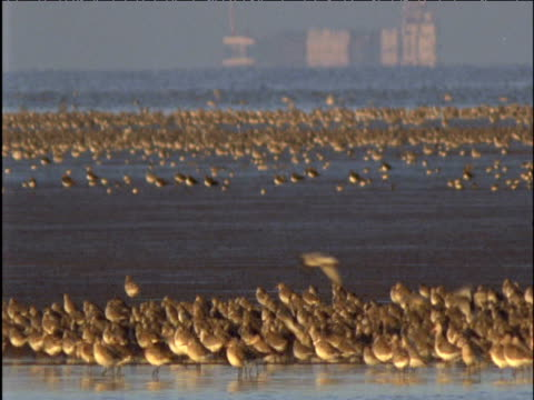 Flock of dunlin lands and forages on mud flats in front of container ship