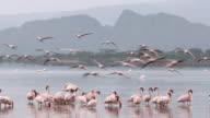 Flock of flamingos landing in an african lake