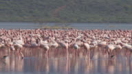 Flock of flamingos walk and eat in an african lake
