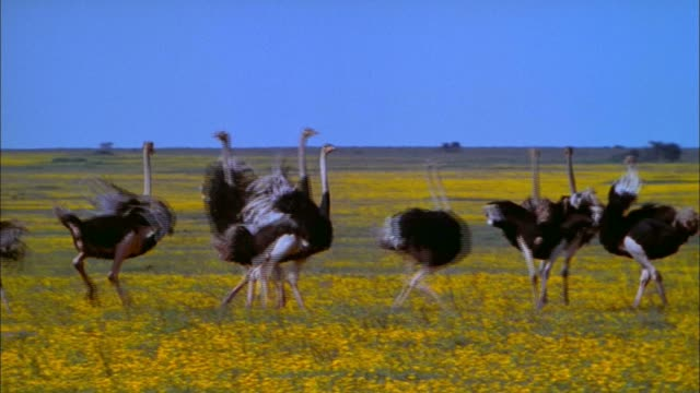 A flock of frantic ostriches runs around in circles.