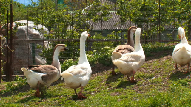 flock of geese on a walk