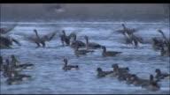 Flock of geese take off from water, Miyagi Prefecture, Japan