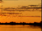 Flock of glossy ibis swoops and wheels over lake in outback at sunrise, Diamantina, Queensland, Australia
