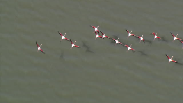 AERIAL Flock of Greater Flamingo (Phoenicopterus roseus) flying over water and sandbars / Camargue, Bouches-du-Rhone, France