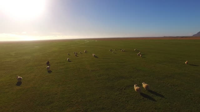 AERIAL Flock of Icelandic sheep on the pasture