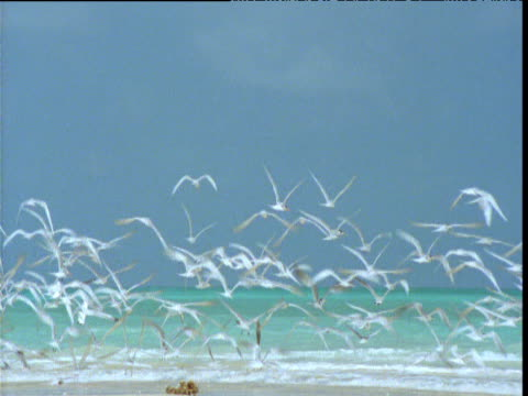 Flock of lesser crested terns take off of beach and fly over turquoise sea, Western Australia