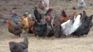 Flock of Noisy Chickens