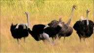 Flock of ostriches calling out in savanna