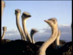 Flock of ostriches stick heads up in air for better view