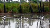 Flock of Pelikane Angeln im rice