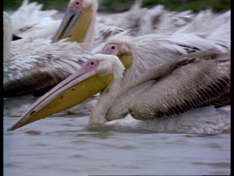 MS Flock of Pelicans moving across water feeding, India