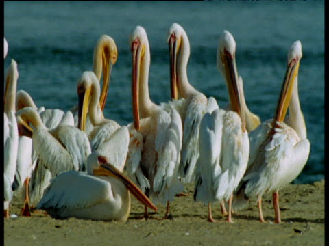 Flock of pelicans preen