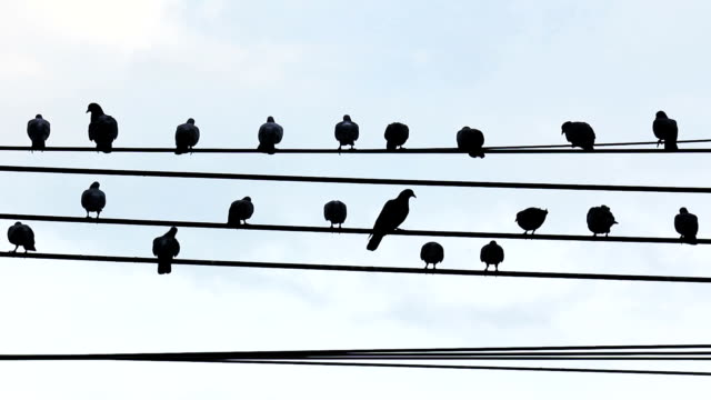 Flock of pigeon birds roosting on cable wires