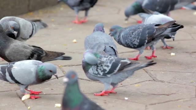 Flock of pigeons eating food