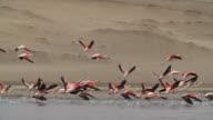 Flock of pink flamingos take flight from water, pan