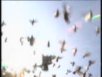 Flock of racing pigeons fly towards camera, hit it and knock it over, UK
