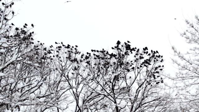 Herde der Raben treffen auf einem Baum im Winter