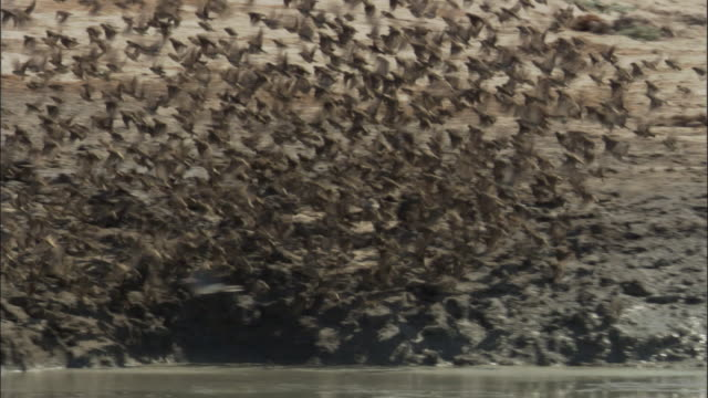 Flock of red-billed quelea takes off from waterhole, Botswana