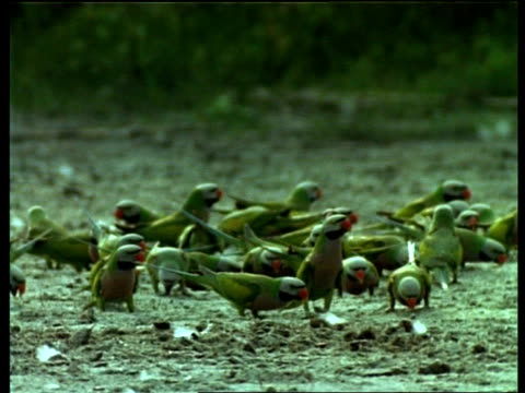MS flock of Red-Breasted parakeets feeding, India