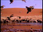 Flock of sandgrouse come in to land and drink at desert oasis pool, Sahara.