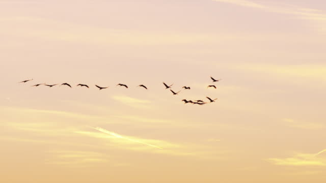 Flock of Sandhill Cranes fly at sunset.