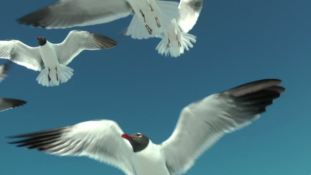 Flock of seagulls flying overhead catching bread pieces