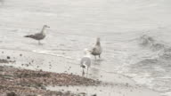 Flock of Seagulls Wading in Shallows