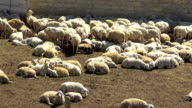 Flock of sheep after shearing